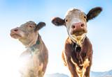 funny cows - 233196510