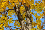 Autumn forest - beautiful yellow leaves. Shallow depth of field. - 233204122