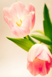 pink tulips on white background © Mariusz