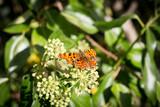 Comma butterfly wings open