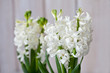 Fresh white hyacinth blossom in front of white wooden panels