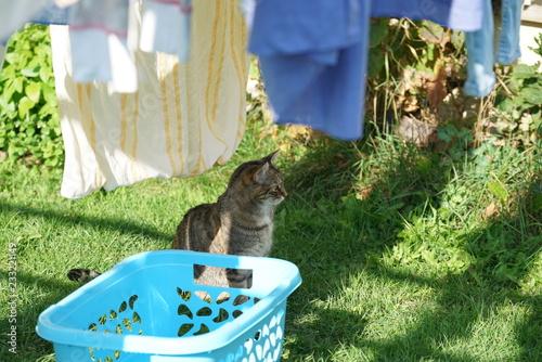 Szary kot Europejski krótkowłosy w ogrodzie gry, czyszczenia i robienie świeże pranie