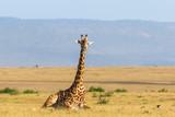Giraffe lying down on the savanna - 233225536