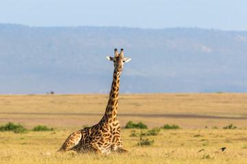 Giraffe lying down on the savanna