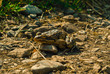 frog basks in the morning sun on a rocky path, bottom view, close-up