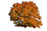 autumn tree, isolated on white - 233253768