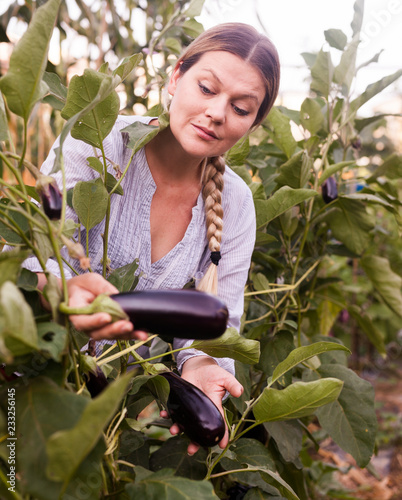 Female Gardener Looking Harvest Of Eggplants In Sunny Garden
