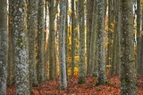 An autumn forest landscape. Close-up view of beech trees, green and golden leaves, Germany - 233262921