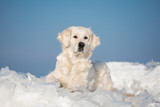 golden retriever dog lying down on ice - 233265547