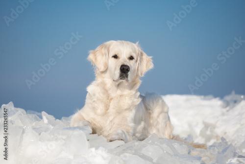 golden retriever pies leżący na lodzie