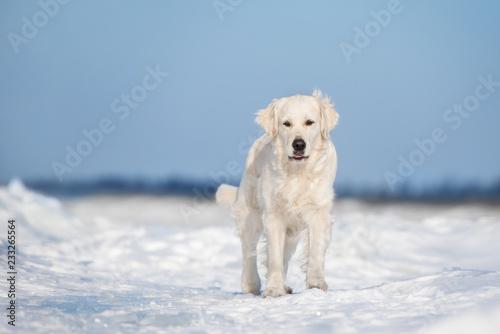 golden retriever pies pozowanie na zewnątrz w zimie