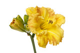 Bright yellow flowers daylily isolated on a white background. - 233266740