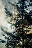 Autumn landscape. Morning fog in the forest. Sun rays and branches of pine trees, close-up. Germany - 233268744