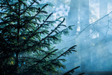 Autumn landscape. Morning fog in the forest. Sun rays and branches of pine trees, close-up. Germany - 233268783