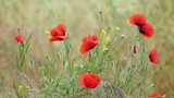 Blooming poppy flower. Natural background with blossoming plant. Turkey. - 233269378
