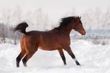 bay arabian horse runs free in winter - 233271109