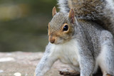 Eastern gray squirrel (sciurus carolinensis) - 233285118