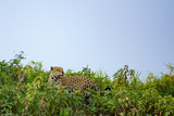 Brazilian Pantanal: The Jaguar - 233293322