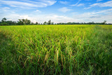 Beautiful green cornfield with fluffy clouds sky background. - 233310392