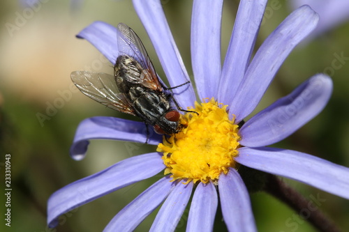 Foto Murales Close up of a large fly drinking nectar and helping pollinate the flower.