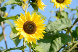 Sunflower in the nature