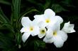 Gardenia jasminoides flowers