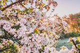 Spring blossoming tree branch, pink flowers of cherry, toned photo - 233330762