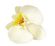 White orchid flower isolated on white