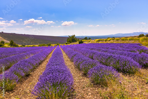 Foto Murales lavender fields in full bloom, Ferrassières, Provence, France