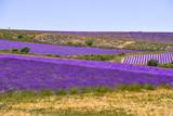hill landscape with lavender fields, Provence, France, village Ferrassières - 233362300
