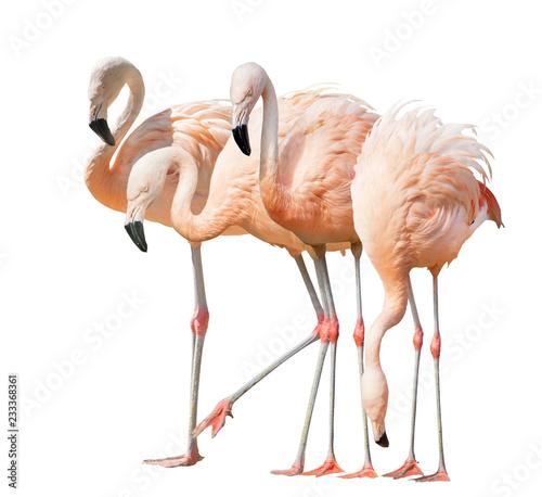 pojedynczo na białym cztery flamingo