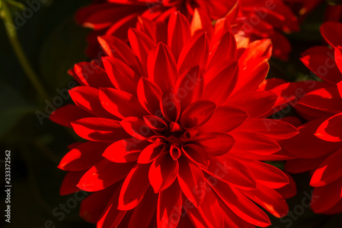 Beautiful red Dahlia flowers. Macro photography. Close up photo of red dahlia in my garden.
