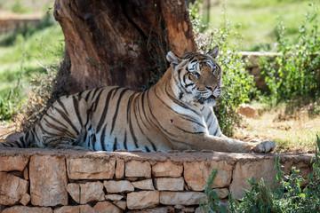 tiger lies under the tree