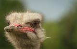 Ostrich - 233378526