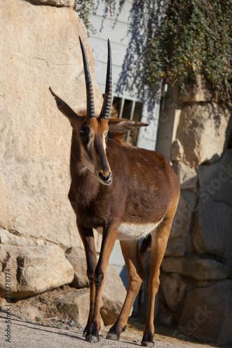 Fridge magnet PRAGUE, CZECH REPUBLIC - OCTOBER 10, 2018: Sable antelope in the Prague Zoo.