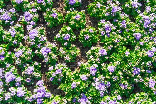 fioletowe kwiaty, tekstura, pole