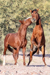Wild Horses fighting in Arizona © mary