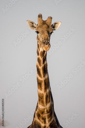 Obraz na płótnie Girafe Face à face