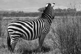 Zebra surveying the Serengeti © Jo