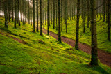 Piste en fôret de sapins, sol recouvert de mousse, contre jour, plateau de Mille-Vache, Creuse, France - 233425984