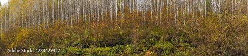 Birch grove panorama - 233429327