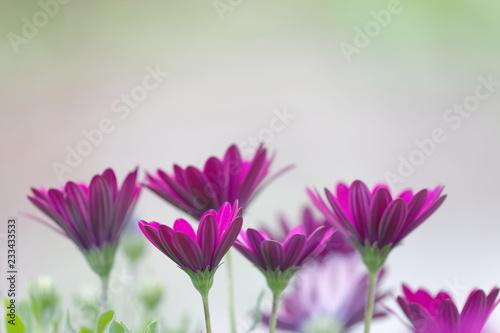 Zbliżenie purpurowi Daisybush kwiaty (łacina: Laridae), krótka głębia ostrość