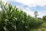 Landscape of Corn field - 233438366