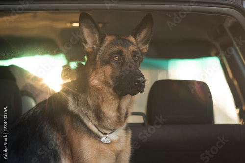 Wall mural Dog rides in the trunk of car