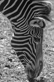 Zebra-Kopf © m_haberstock