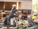 Stehendes Eichhörnchen mit Nuss im Maul - 233450537