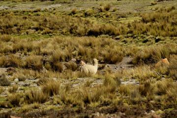One Alpcaca grazing in the Field of Reserva Nacional (National Reserve) Salinas y Aguada Blanca, Arequipa region, Peru