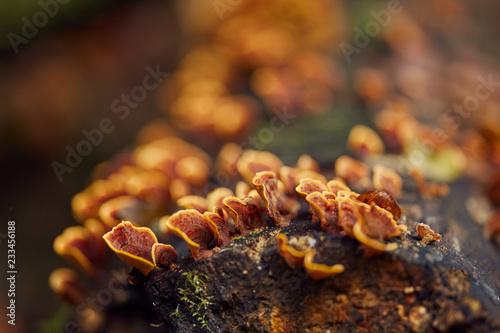 Grzyb kolonii na drzewie