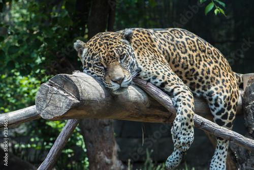 Fototapeta jaguar