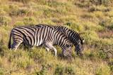 Zebra 5 © Karl-Heinz Schmidt